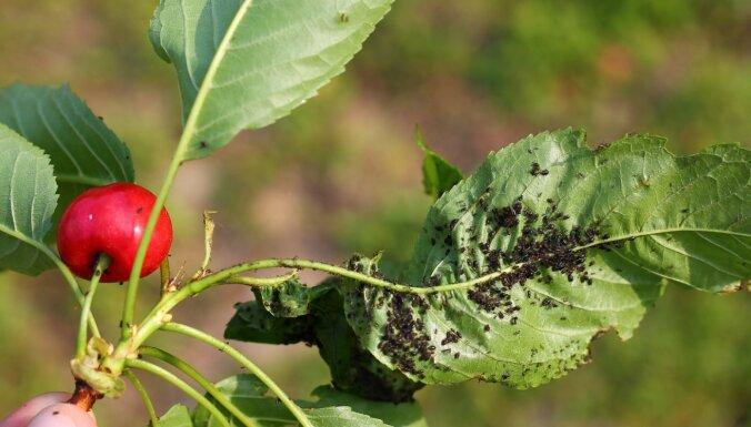 Laputis, ābolu tinēji un citi – likstas dārzos jūnija izskaņā