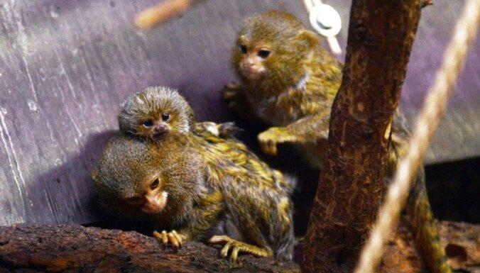Mazuļu laiks! Rīgas zoo iemītnieku saime kļuvusi kuplāka