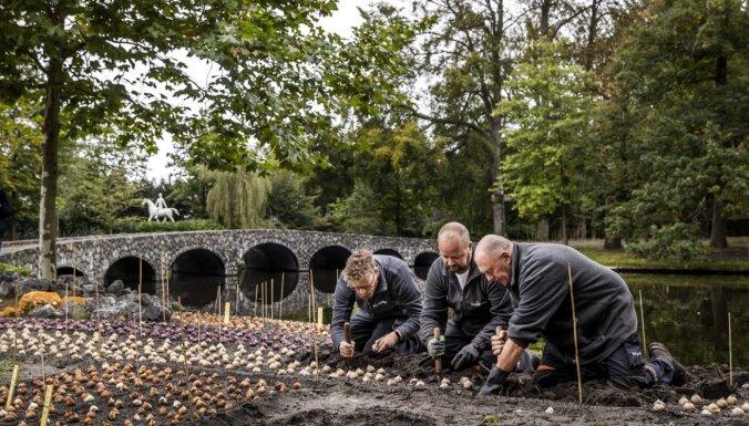 7 miljoni sīpolpuķu – slavenais Keukenkofas dārzs Nīderlandē atklāj stādīšanas sezonu