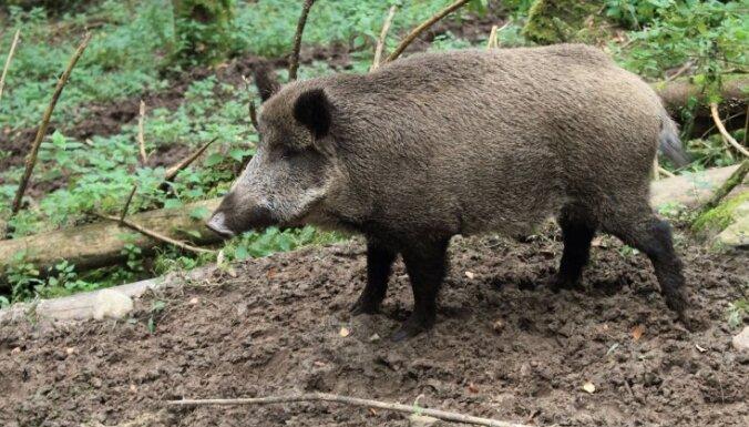 Rīgas mežacūkas vilinās ar kukurūzu piebērtās 'ķertuvēs'
