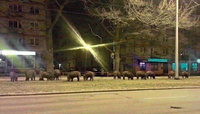 Cīņu ar mežacūkām Rīgā vadīs Radzevičs