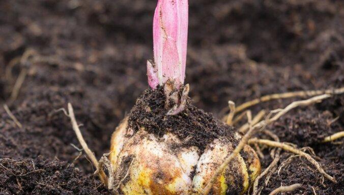 Pasūtītajiem liliju sīpoliem lieli asni: stādīt augsnē vai pagaidīt siltāku laiku