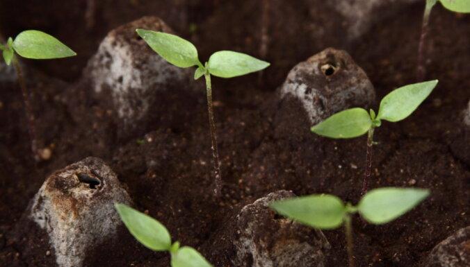 Pēdējais laiks sēt papriku! Sēšanas gudrības un audzēšanas padomi
