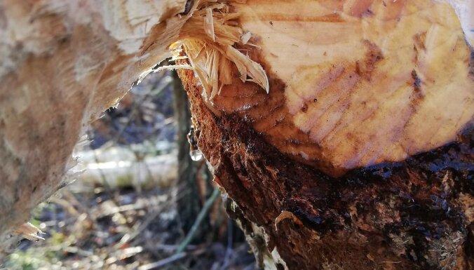 ФОТО: Подснежники, набухшие почки и кленовый сок. Природа реагирует на теплую погоду
