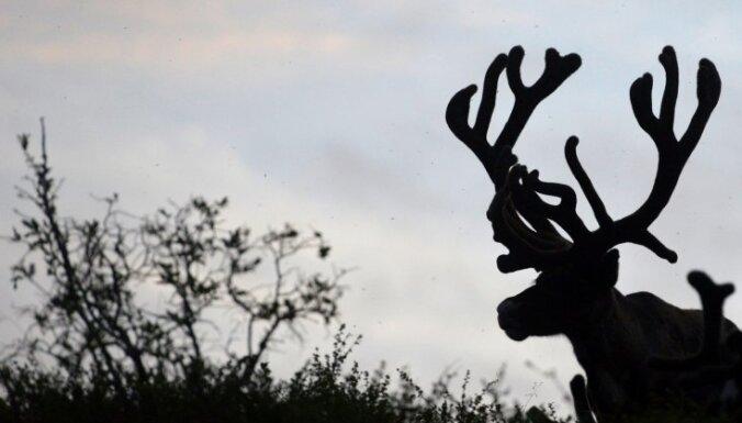 В Лапландии поезд сбил 48 северных оленей