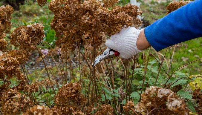 Vai apgriezt un pārstādīt: svarīgākie jautājumi par hortenzijām rudenī