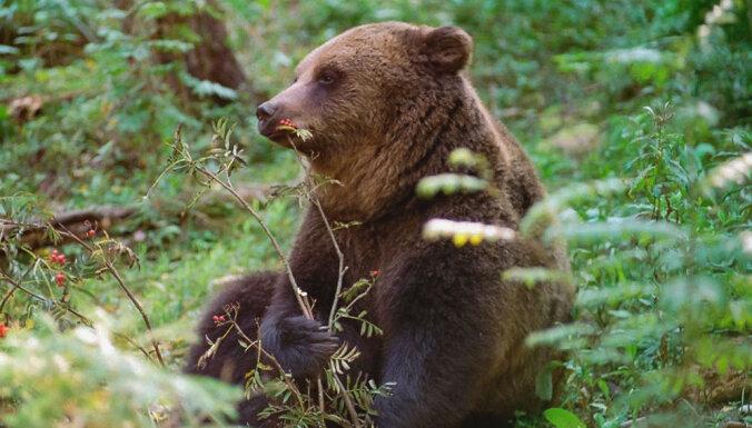 Valkas novadā uzsāks lāču aizbiedēšanu no viensētu apkārtnes