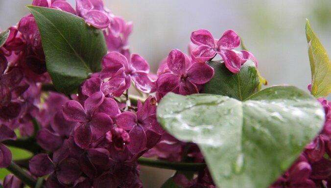 Trešdien gaidāms ilgstošs lietus, vēlā pēcpusdienā nokrišņi mitēsies