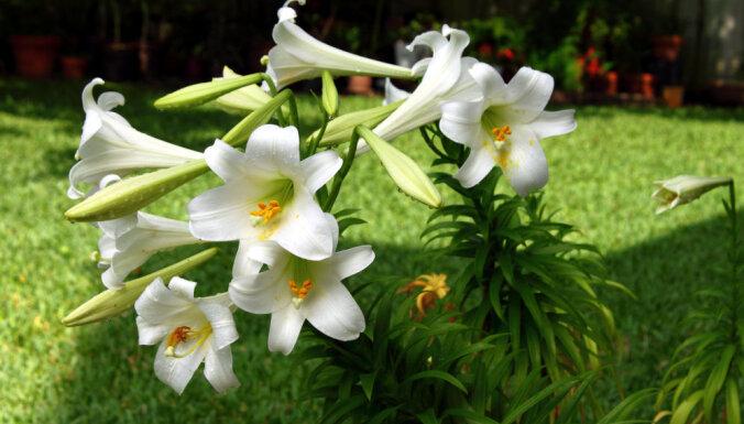 Aktuālākās dārza puķes šajā vasarā