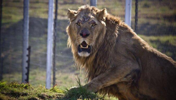 В зимбабвийском парке лев убил гида