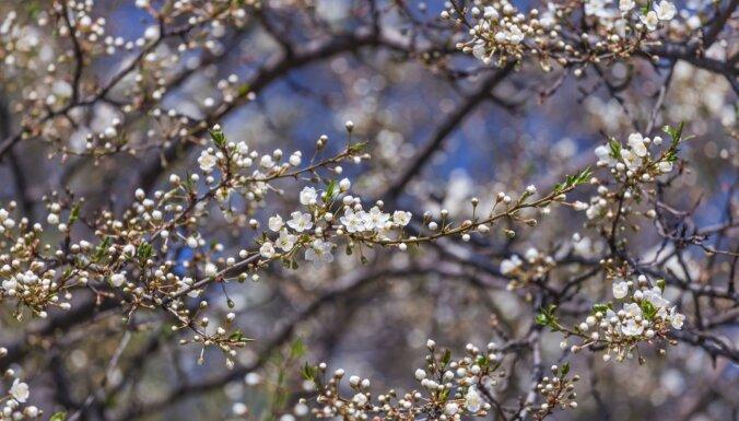 Dabā šogad viss notiek lēnāk – kā aukstais pavasaris ietekmēs ražu