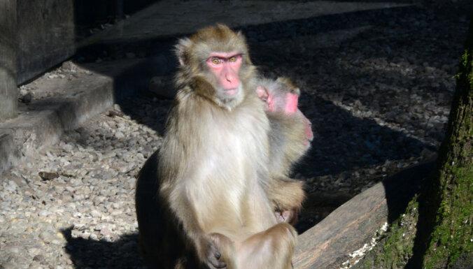 Muzeju naktī Rīgas zoodārzā, iespējams, varēs dzirdēt Japānas makaku 'koncertu'