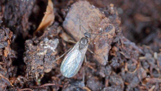 Ap telpaugiem lidinās mušiņas: kā cīnīties ar trūdodiņiem
