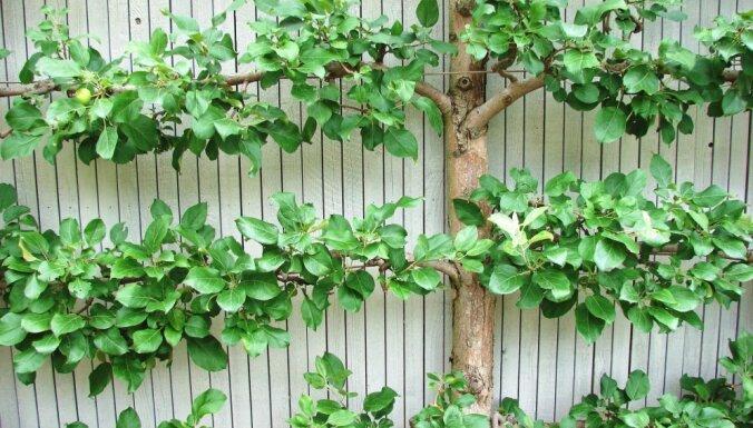 Kā izveidot dzīvžogu no ābelēm