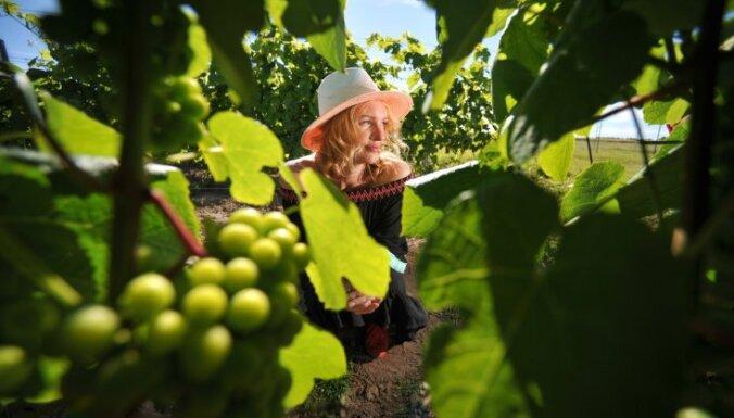 Vīna tūre tepat Latvijā: kur braukt apskatīt vīnogu dārzus