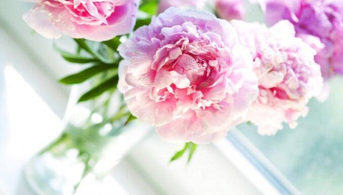 Cēlās jūnija princeses peonijas – kā nogriezt ziedkātus un ilgi saglabāt vāzē