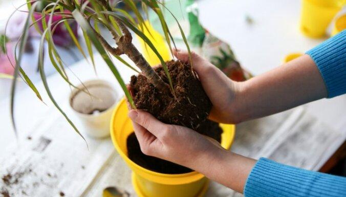 Ilgdzīvotājas un cīnītājas dracēnas – kā rūpēties par augiem