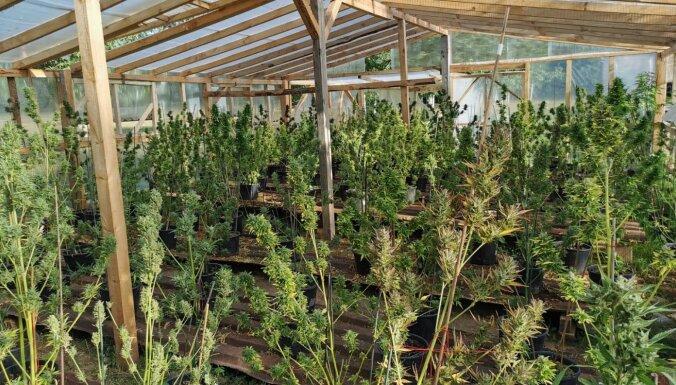 ФОТО. Под Огре и Дундагой нашли плантации марихуаны