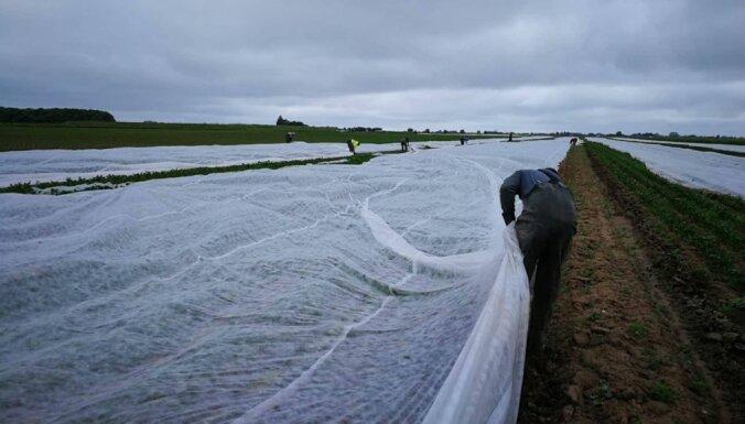 Angļu fermeri paaugstina algas, lai noturētu latviešu strādniekus