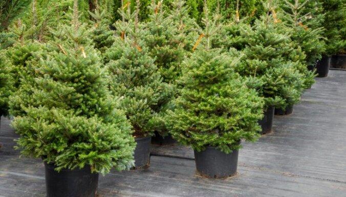 Как правильно вырастить елку дома?