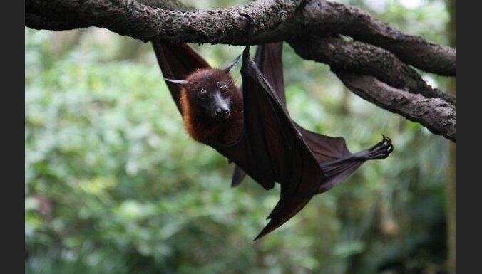 На Австралию выпали сто тысяч дохлых летучих мышей