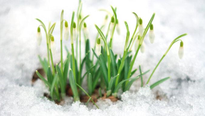 Pavasara vēstneses sniegpulkstenītes - kā tās pārstādīt