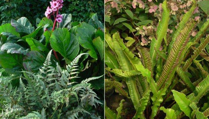 Papardes dārzā: audzēšanas padomi un skaistākās šķirnes