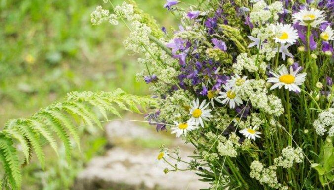 Целебные травы и Лиго: как их правильно собрать?