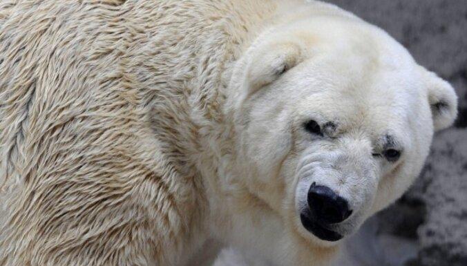 Argentīnas zoodārzs atsakās pārvietot 'depresīvo' lāci uz Kanādu
