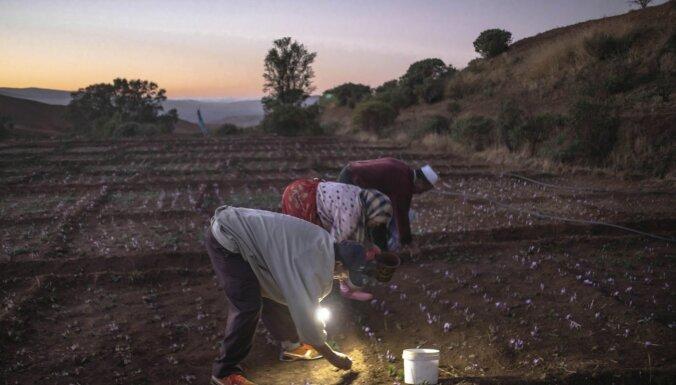 ФОТО. Красное золото: Как добывается самая дорогая специя в мире