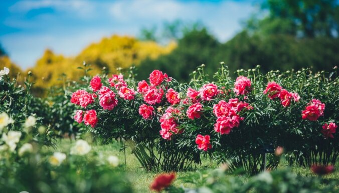 Foto: Kalsnavas arborētumā krāšņi zied iespaidīgā peoniju kolekcija