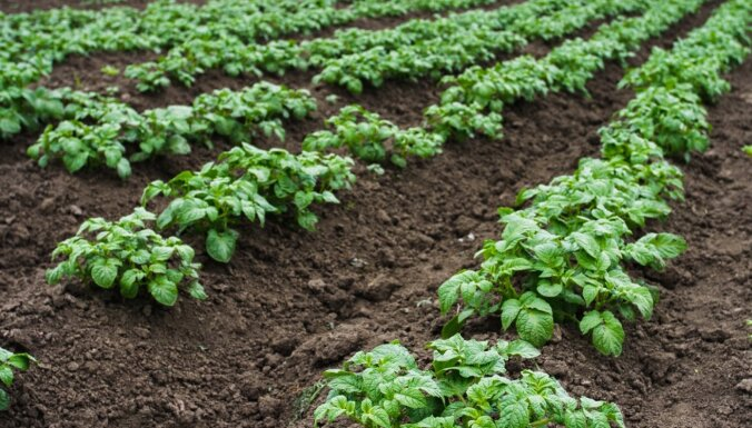 Kādus zaļmēslojuma augus sēt gar kartupeļu vagām