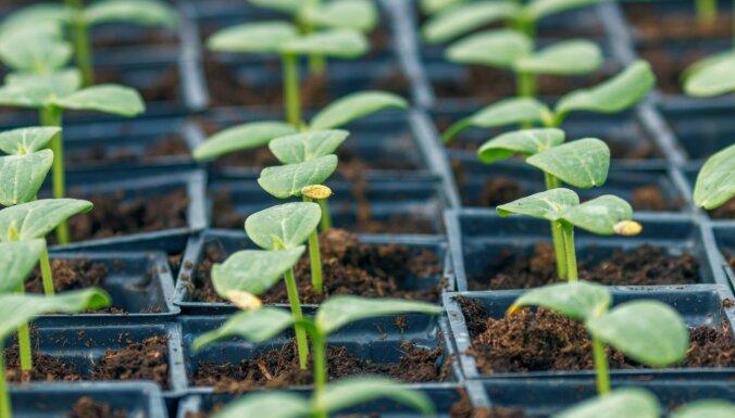 Svarīgākais, kas jāzina par gurķu dēstiem un to audzēšanu