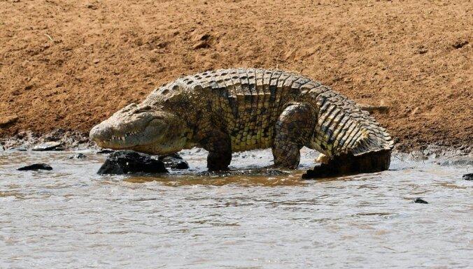 В желудке убитого крокодила нашли останки девушки и рыбака