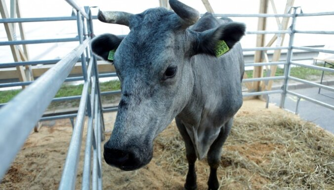 Конкурс красоты среди коров выиграла буренка Митра