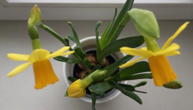 Nopirktais pavasaris: kā rūpēties par narcisēm podiņos