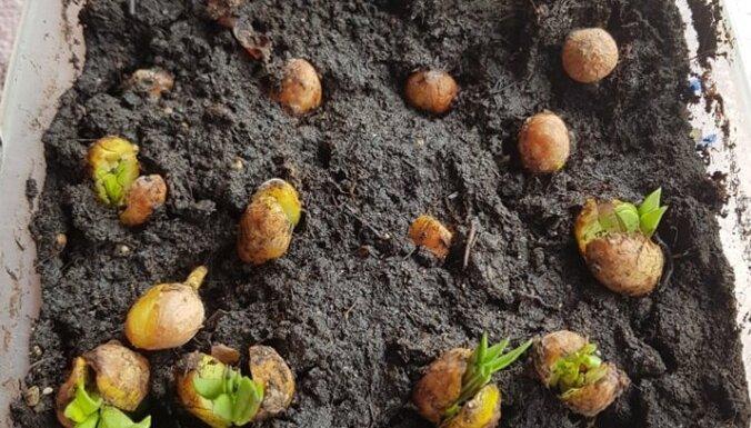 Pieredzes stāsts: kā dārzā izaudzēt zemesriekstus