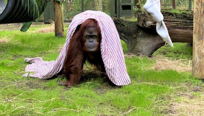 Orangutāns, kuram tiesa piešķīrusi dažas cilvēka pamattiesības, sāk jaunu dzīvi ASV