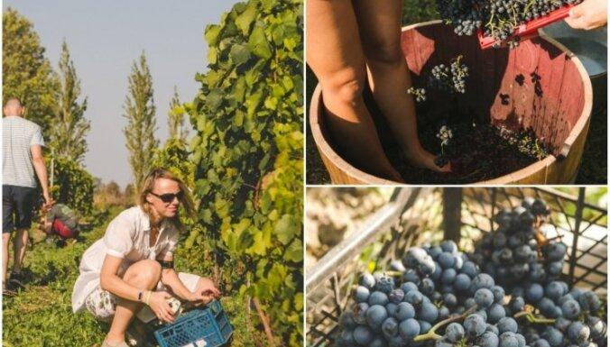 Foto: Abavas vīna darītavā lustīgi novākta 2,5 tonnu liela vīnogu raža