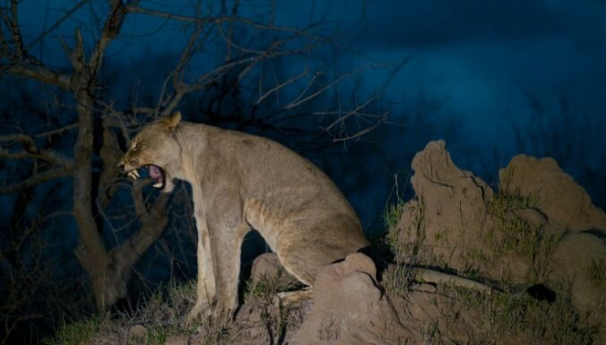 Lauvas, sikspārņi un pat kuprvaļi – kādus dzīvniekus var redzēt tiešraidēs visā pasaulē