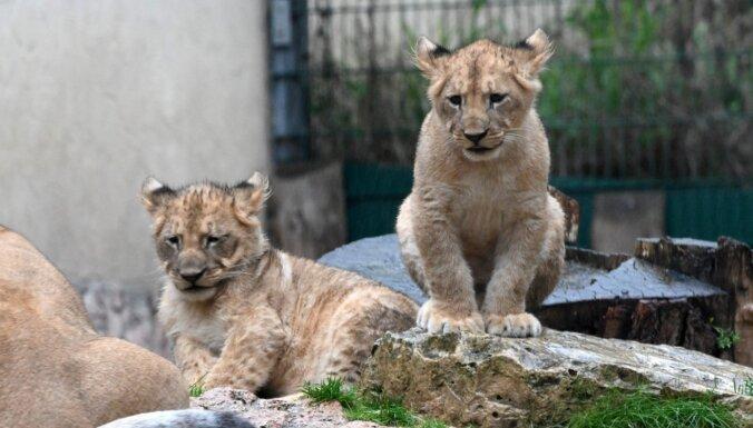 Rīgas zoo lauvēni gatavojas kristībām – svinīgi izziņos arī vārdus