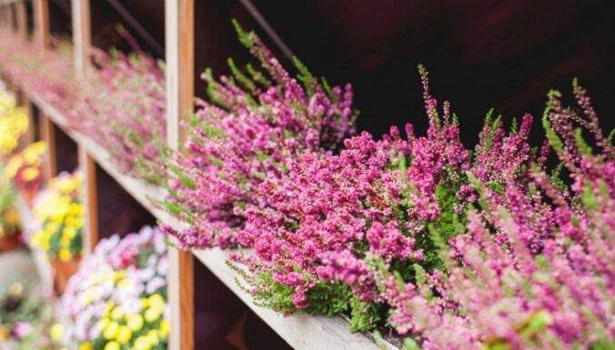 Noslēpumainās ērikas: izcili augi maziem dārziem