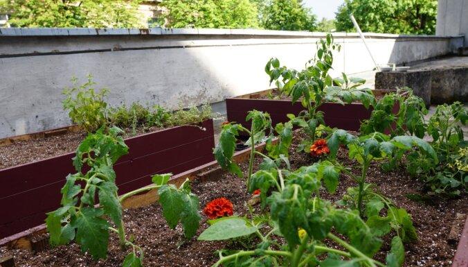 Foto: Uz Agroresursu un ekonomikas institūta terases Rīgā izveidots urbānais dārzs