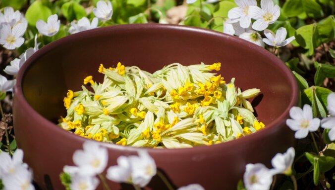 Sezonas produkts – gaiļbiksītes: kā veselīgo augu iekļaut ēdienkartē