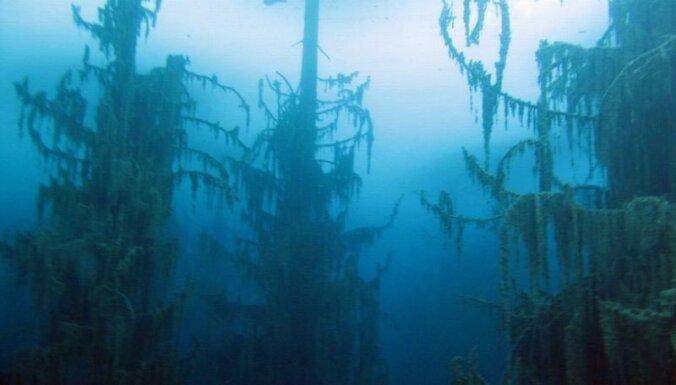 Nogrimušais Kaindi ezera mežs - milzu egles, kas aug zem ūdens