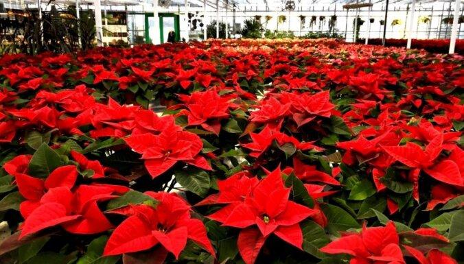 Foto: Simtiem Ziemassvētku zvaigžņu vienkopus – kā Cēsīs aug puansetijas