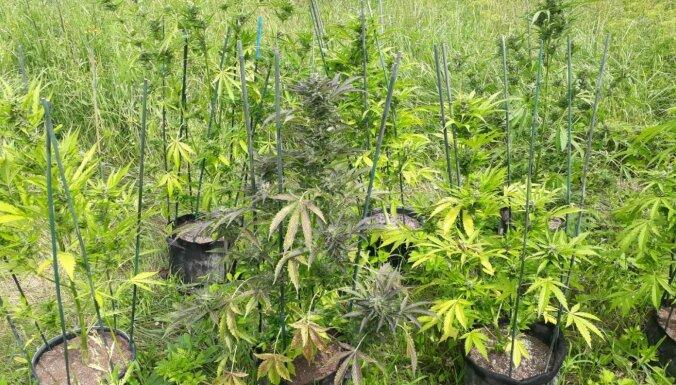 Полиция обнаружила две плантации марихуаны: задержаны подозреваемые