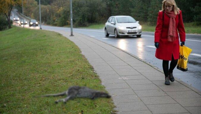 Сбежавший со съемочной площадки в Вильнюсе кенгуру попал под машину