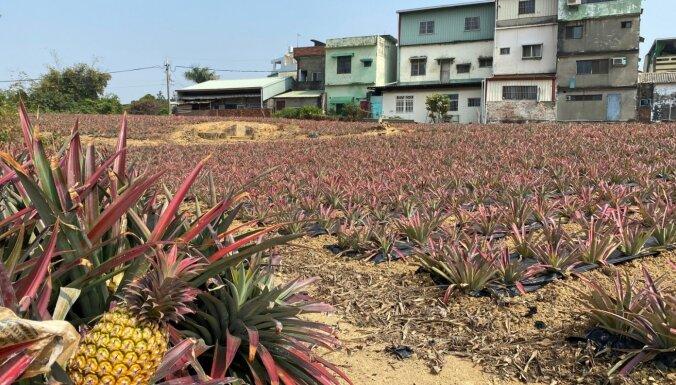 Foto: Kā Taivānā aug 'brīvības ananasi' par spīti Ķīnai