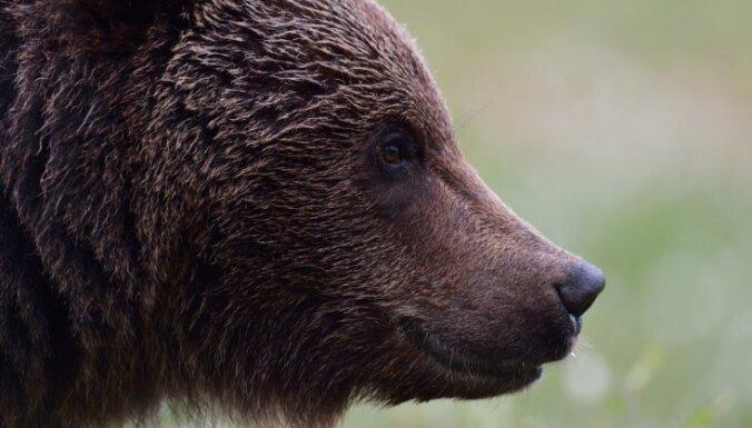 Осторожнее в лесу: камера засняла медведя, гуляющего в 50 км от Риги